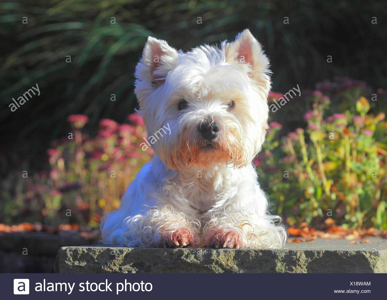West Highland White Terrier, Westie (Canis lupus familiaris) f., nueve años de edad, perro en un parque en una pared, Alemania Imagen De Stock