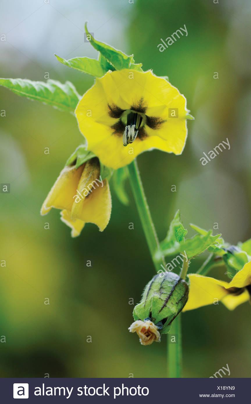 Physalis philadelphica 'Purple de Milpa', flores amarillas de tomatillo, también conocido como el tomate verde. Imagen De Stock