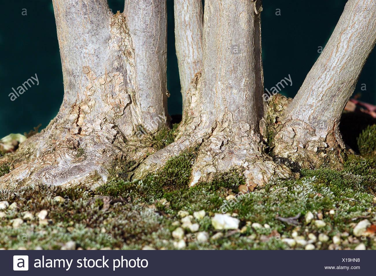 Raíz Del árbol Japón Grupo Acer Buergerianum Wurzelansatz Nebari