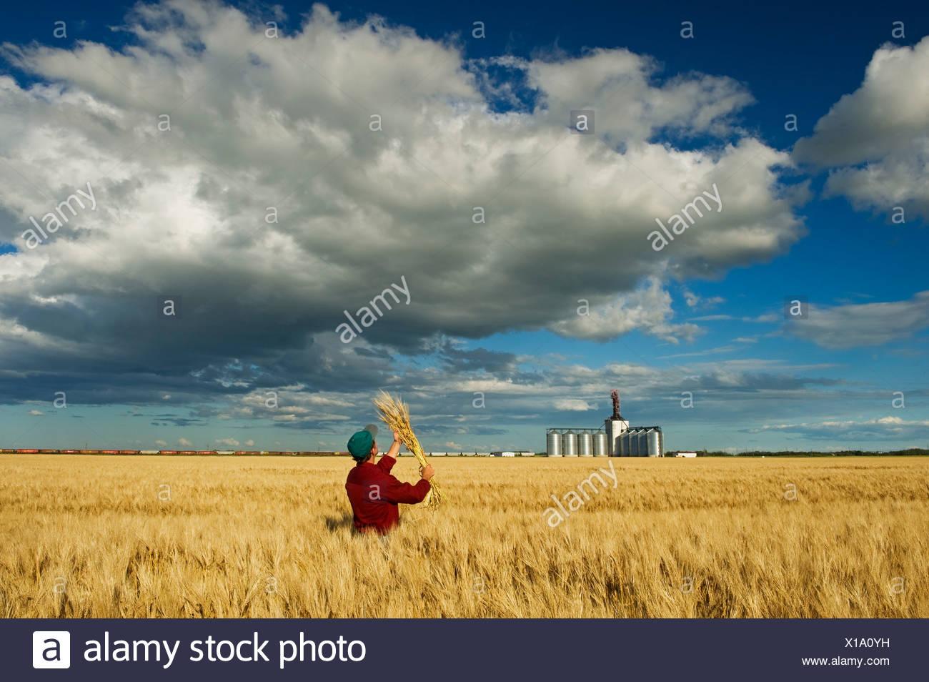 El hombre busca la cebada madura con un terminal de granos del interior y el desarrollo de los cúmulos de nubes en el fondo cerca de Winnipeg, Manitoba Ca Imagen De Stock