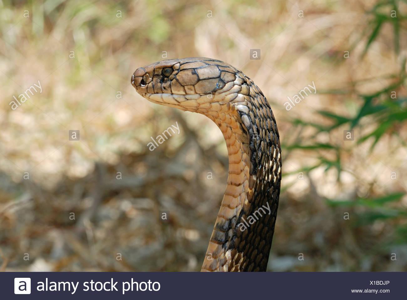 KING COBRA. Ophiophagus hannah. Rara venenosas. La serpiente venenosa más larga del mundo. Goa, India Foto de stock