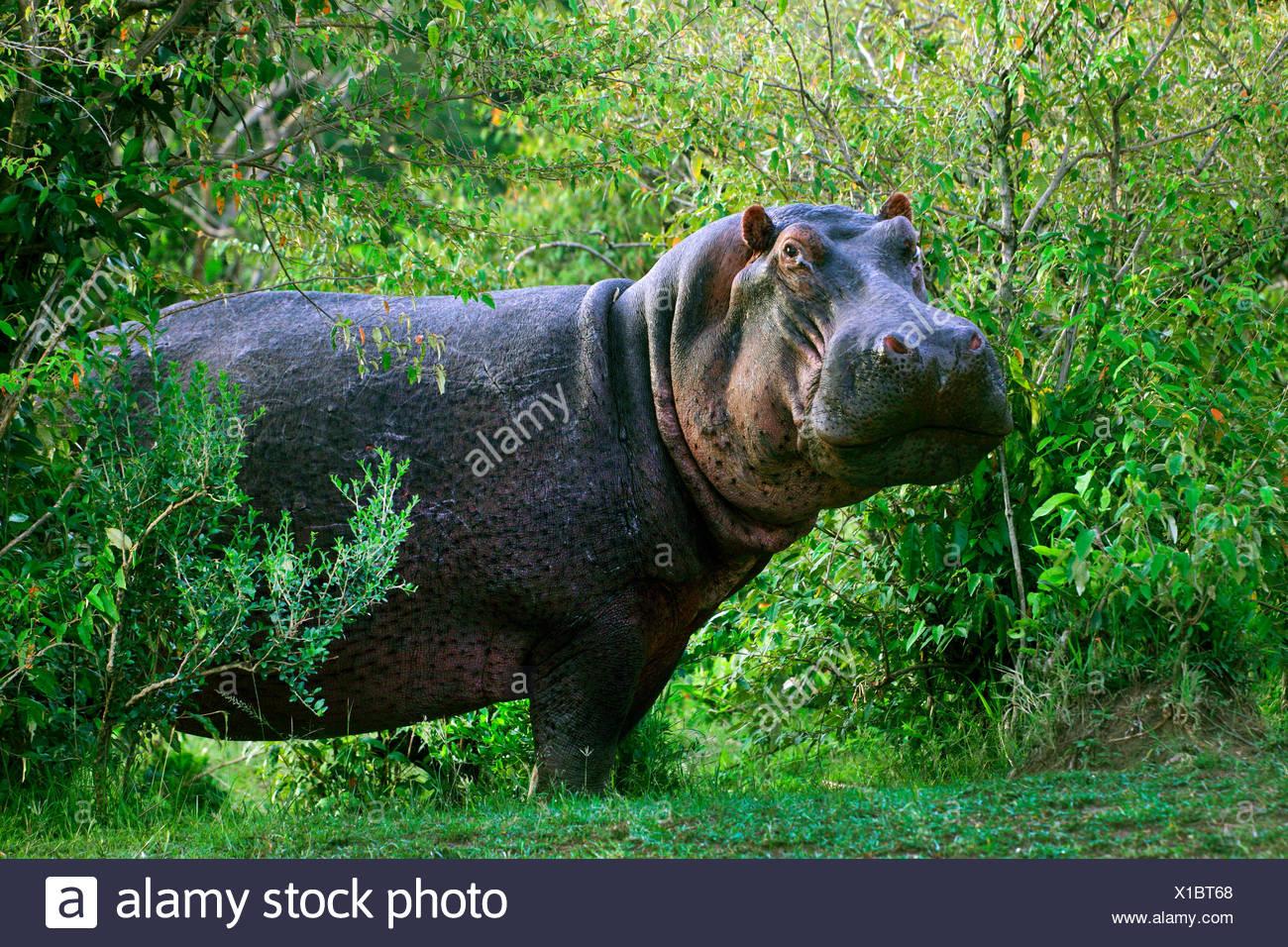 Hipopótamos, hipopótamos, hipopótamo común (Hippopotamus amphibius), en la espesura, África Imagen De Stock