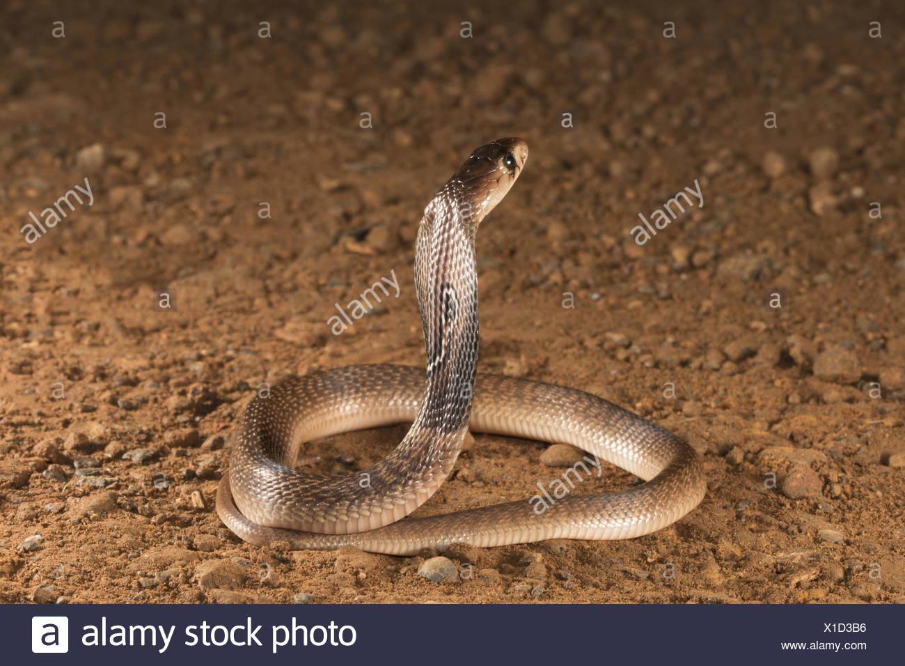 Oso cobra Naja naja Familia: Elaphidae, Aarey Milk Colony, Mumbai, India Foto de stock