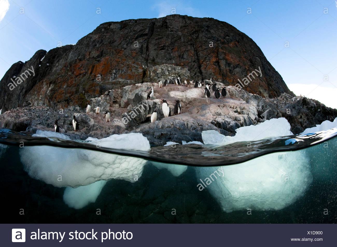 Pingüino de Gentoo Foto de stock