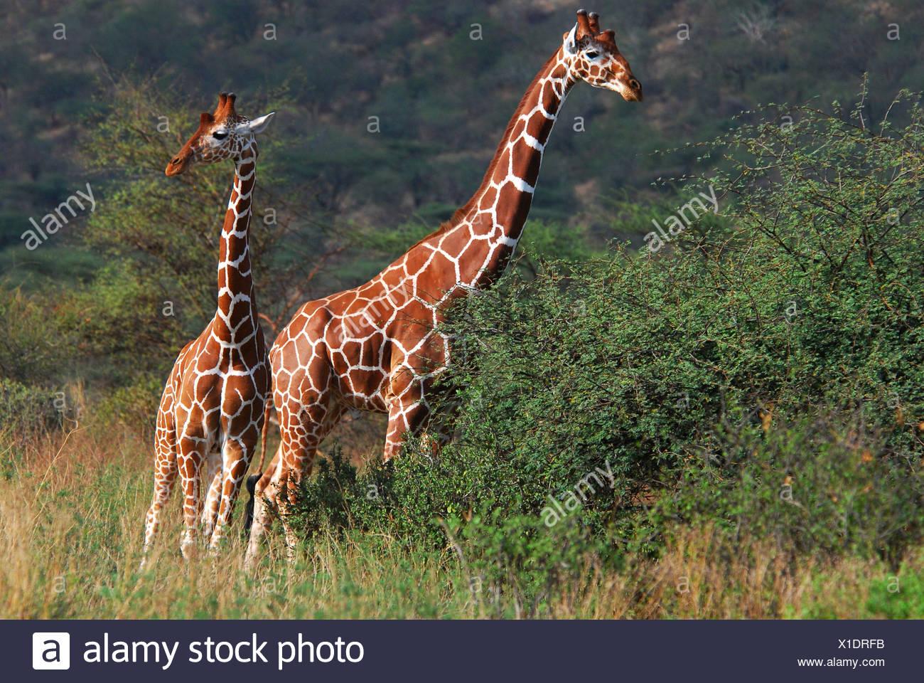 Jirafa somalí (Giraffa camelopardalis reticulata) Parque Nacional de Samburu, Kenya, Africa. Foto de stock