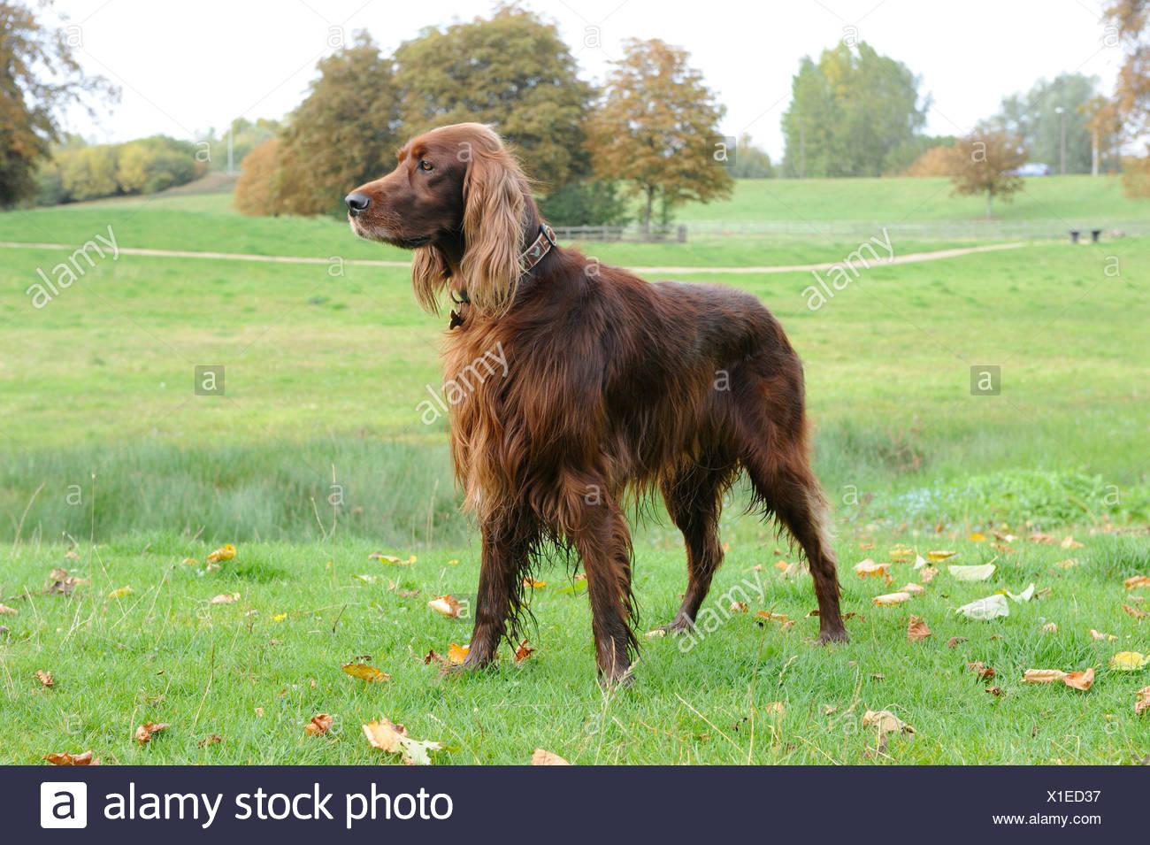 Un bien entrenado perro setter rojo de alerta permanente Imagen De Stock