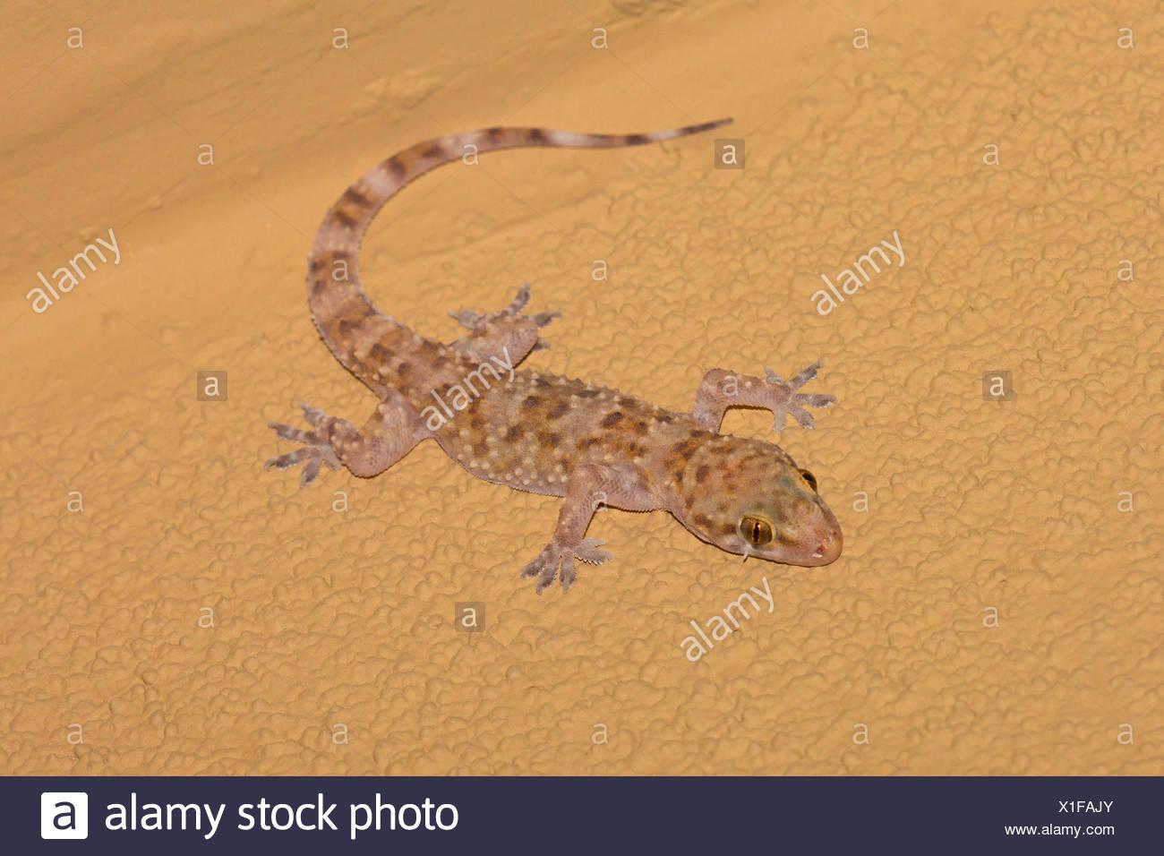 Turco, Mediterráneo gecko gecko (Hemidactylus turcicus), se sienta en un revestimiento, Arizona, EE.UU. Imagen De Stock