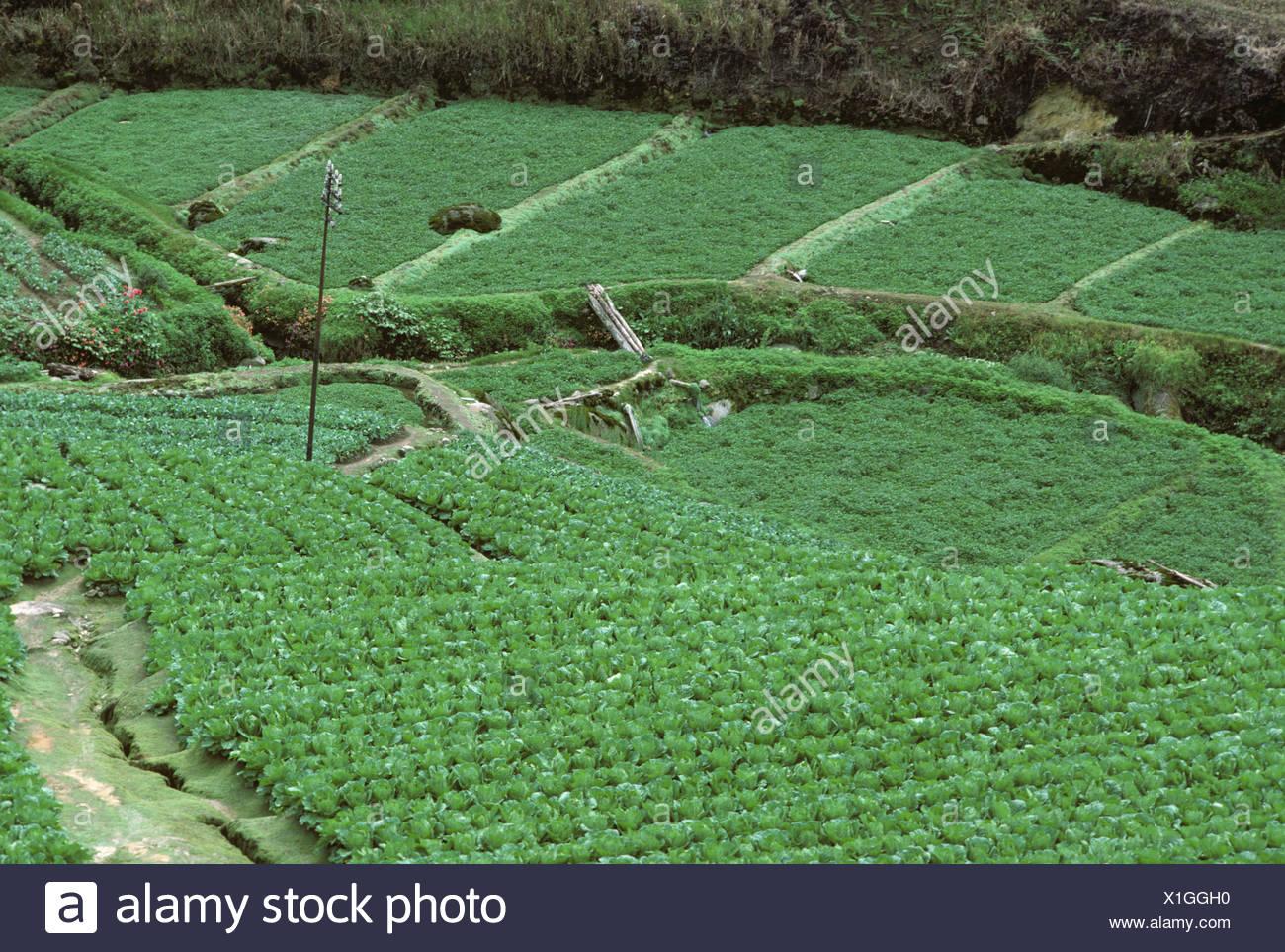 Cultivo De Hortalizas En Terrazas Con Coles Y Otros Cultivos