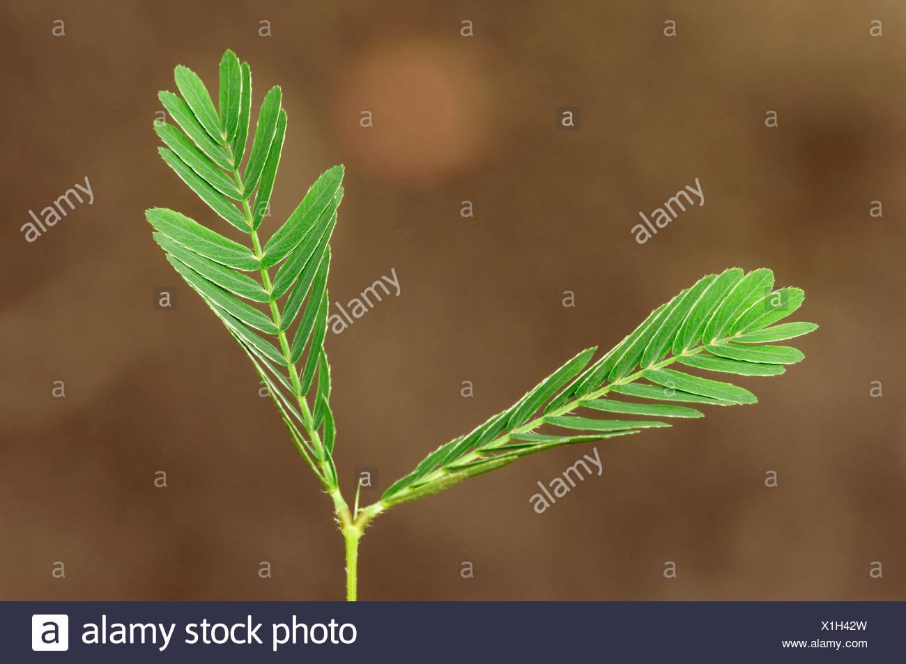 Planta sensible, humilde planta o Touch-Me-NO (Mimosa pudica), hojas Imagen De Stock