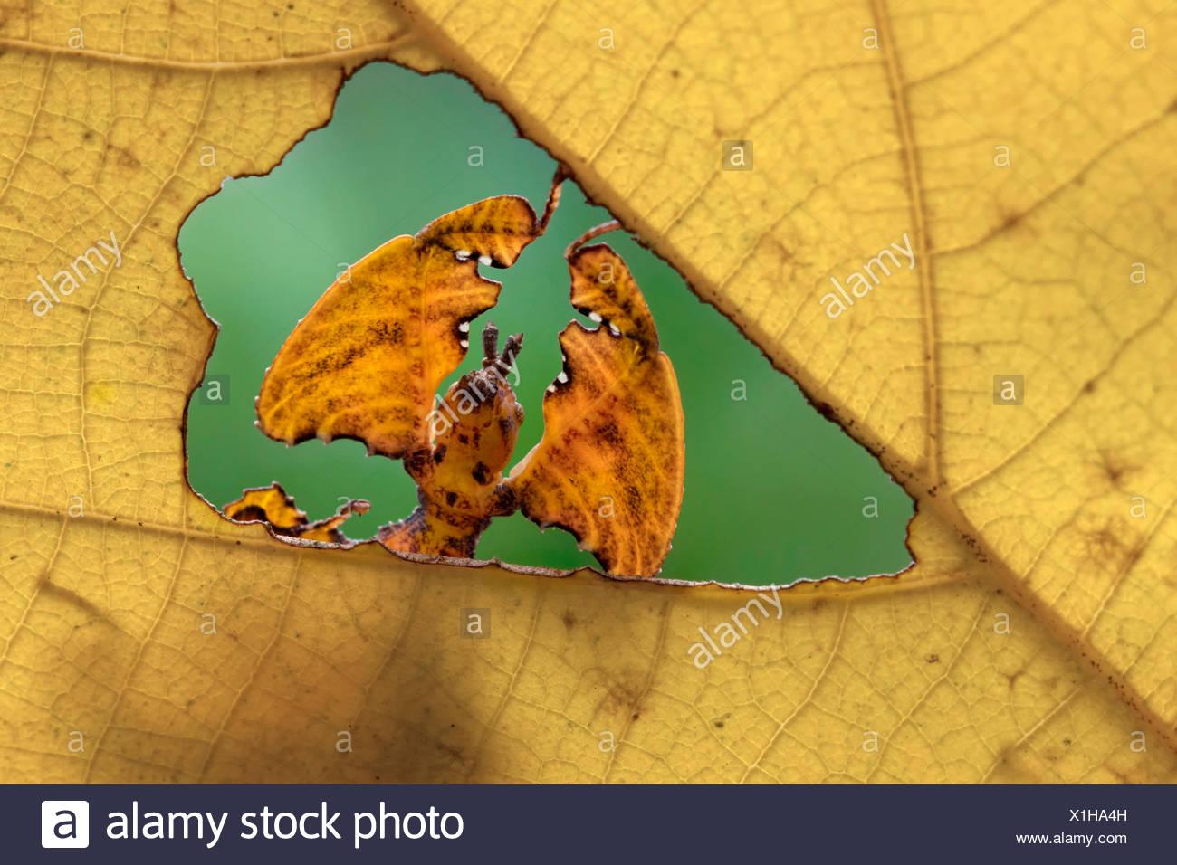 Retrato de una hoja a través de phyllium Foto de stock