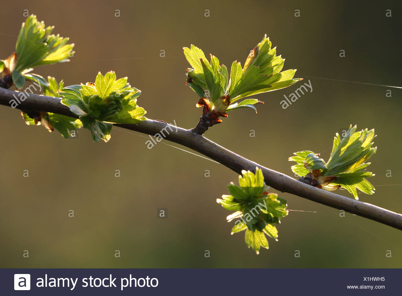 Van Bladeren Meidoorn (Crataegus monogyna) de lente, Belgi hojas de espino albar (Crataegus monogyna) en primavera, Bélgica Imagen De Stock