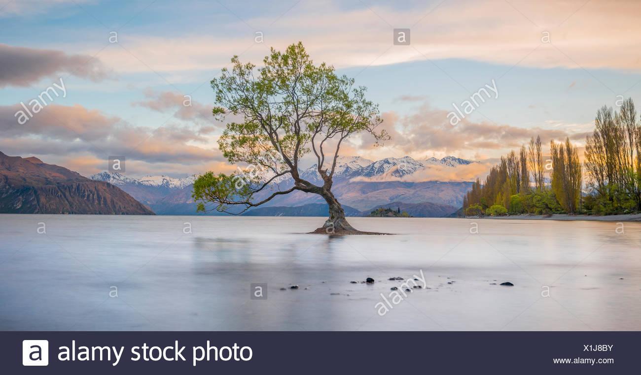 Al amanecer, único árbol de pie en el agua, el Lago Wanaka, Wanaka, Árbol Roys, bahía de Otago, Southland, Nueva Zelanda Imagen De Stock