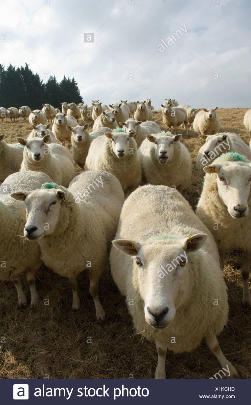 Primer plano de un rebaño de ovejas. Imagen De Stock