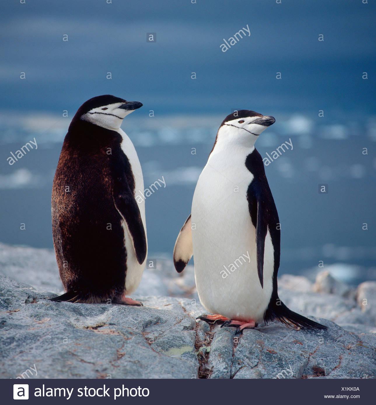 Pingüino barbado Foto de stock