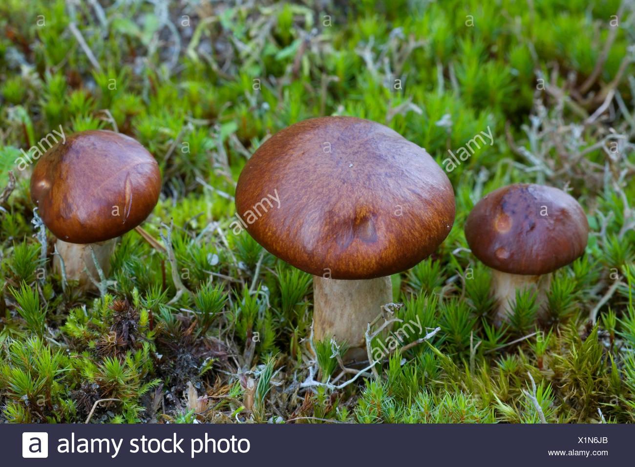 Jack resbaladizas (Suillus luteus) en MOSS, Dinamarca, Jutlandia Imagen De Stock