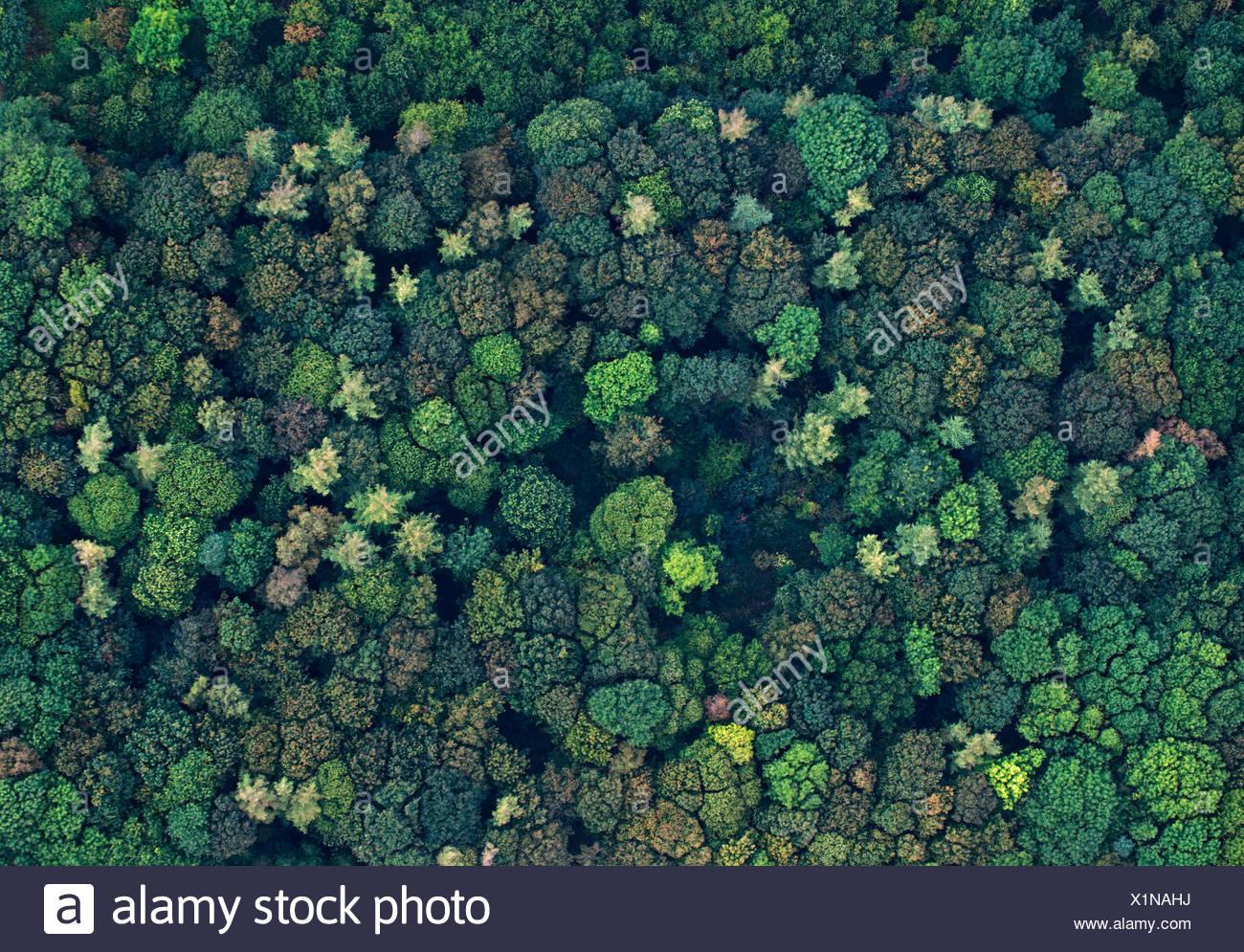 Vista aérea de una mezcla de madera broadleaved en otoño de Norfolk UK Imagen De Stock