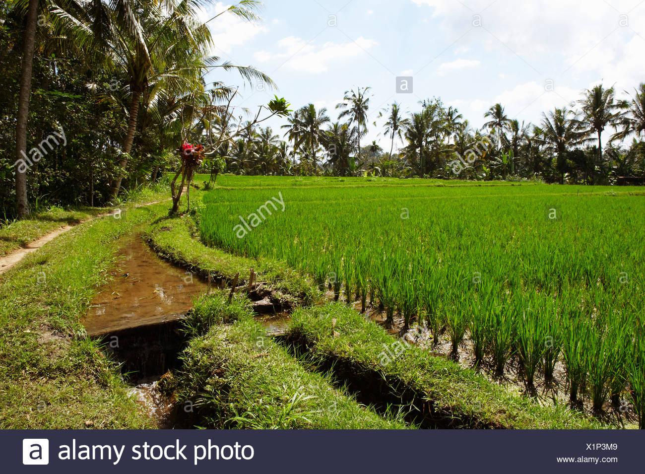 Bali Indonesia El Cultivo De Arroz En Terrazas De Arroz