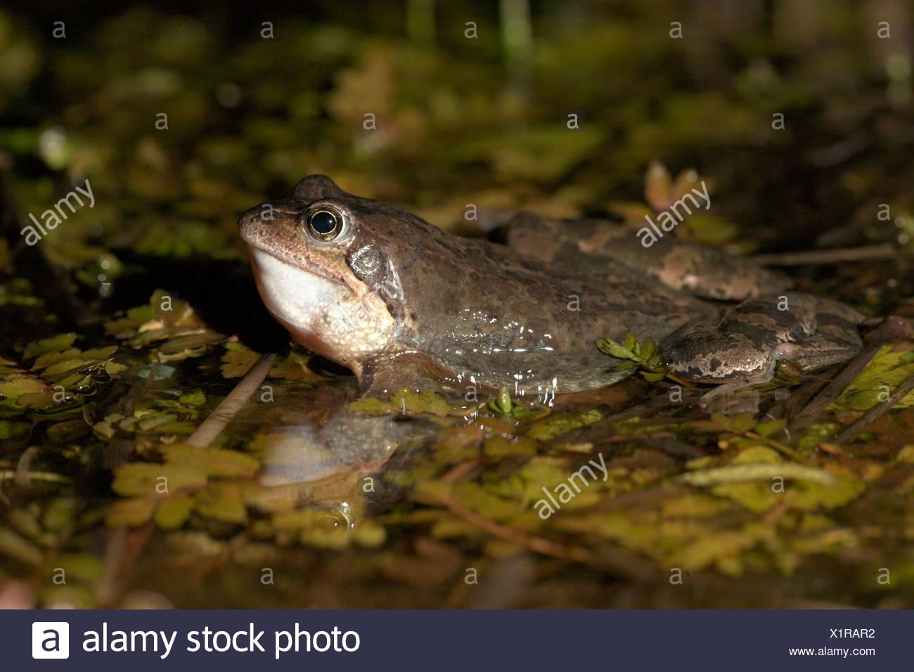 Foto de un macho llamada rana común (véase su garganta inflamada) Foto de stock