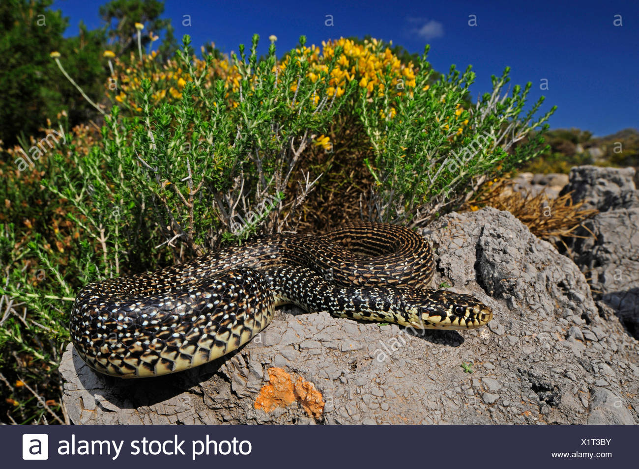 Látigo de serpiente (Hierophis balcánica, Coluber gemonensis gemonensis), tomar el sol en una roca, Grecia, Kythira Imagen De Stock