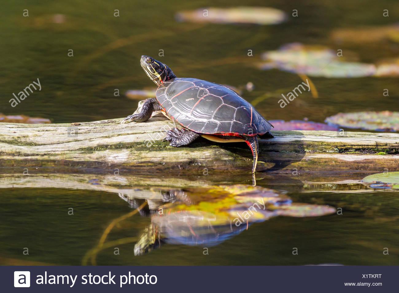 Midland tortuga pintada (Chrysemys picta marginata), Killarney provincial park, Ontario, Canadá Imagen De Stock