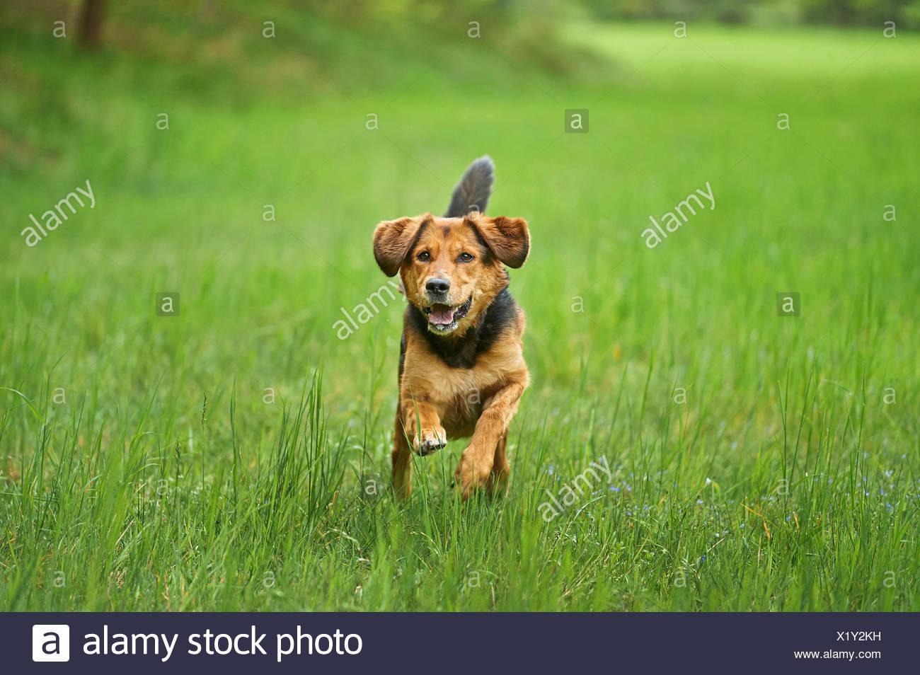 Perro de raza mixta (Canis lupus familiaris) f., pasear perros de raza mixta en un prado, Alemania Imagen De Stock