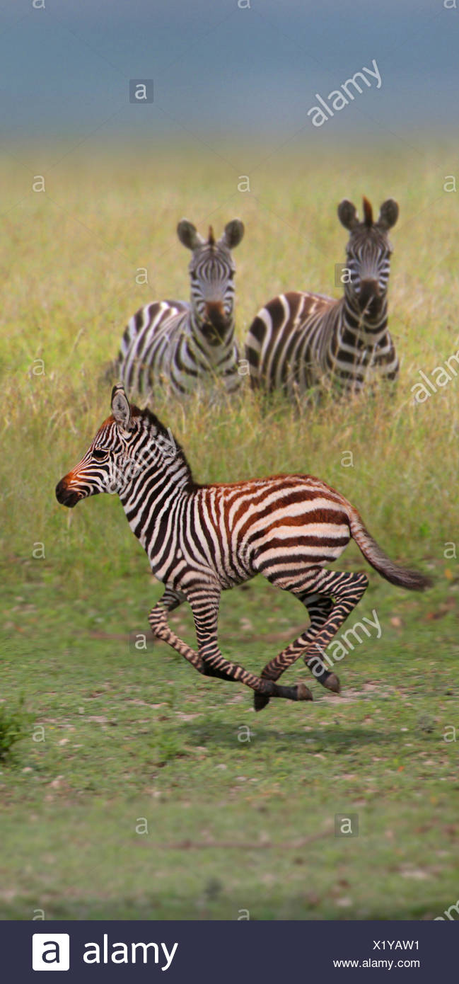 La cebra común (Equus quagga), dos cebras viendo ejecutando menores, África Imagen De Stock
