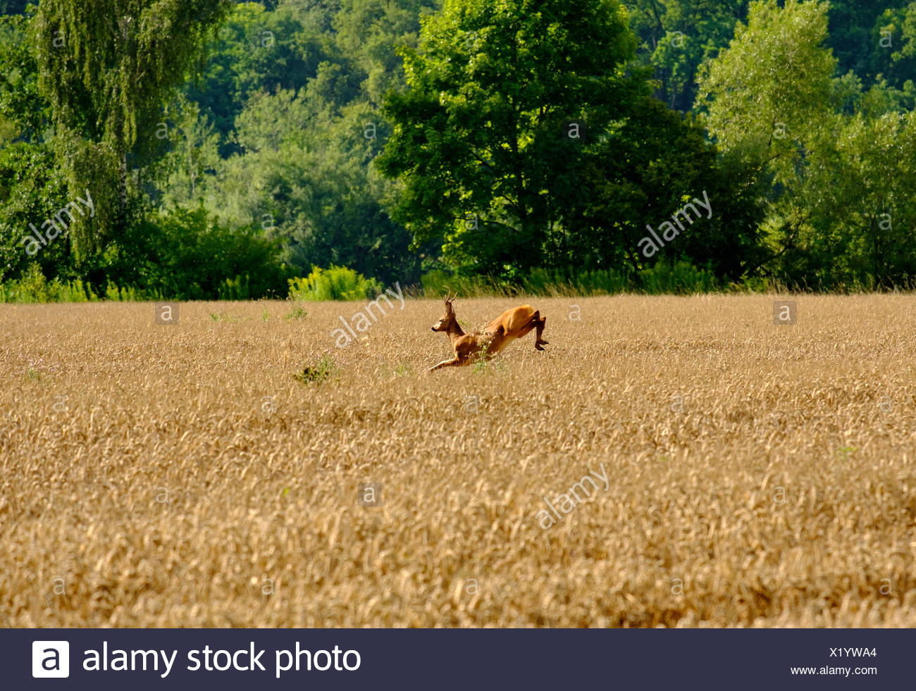 Saltos de ciervos en el campo de grano, Donaustauf, el Alto Palatinado, Baviera, Alemania Imagen De Stock
