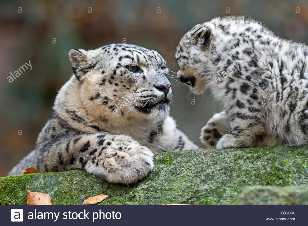 Leopardo de las nieves (Uncia uncia), los animales jóvenes, cautiva, Alemania Foto de stock