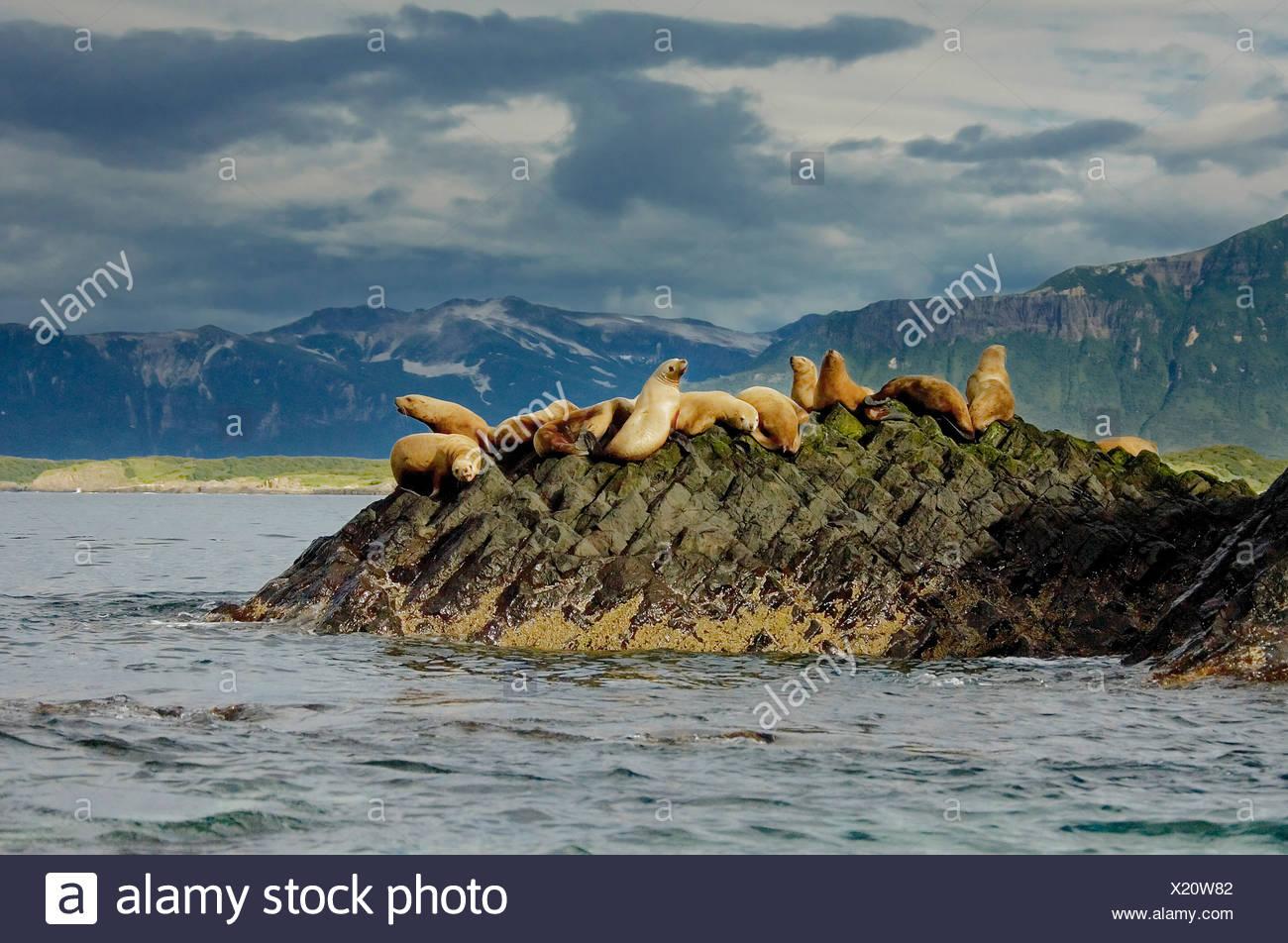 Steller leones, Admiralty Island, Alaska Imagen De Stock