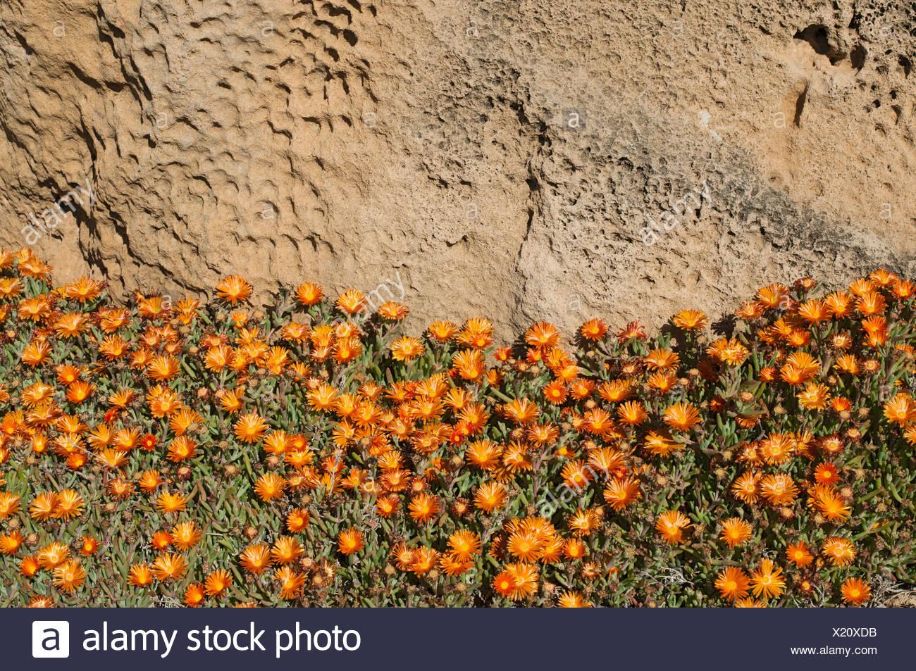 Las plantas de piedra (Aizoaceae), península de Sinis, Oristano, Cerdeña, Italia, Europa Foto de stock
