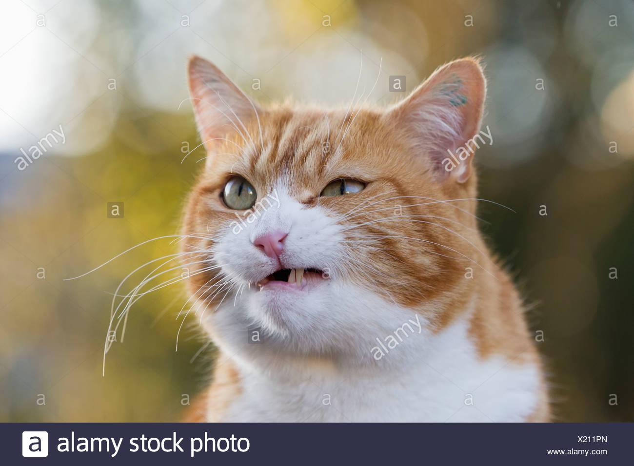 Alemania, Baviera, cerca de enojado Shorthair Europeo cat. Imagen De Stock