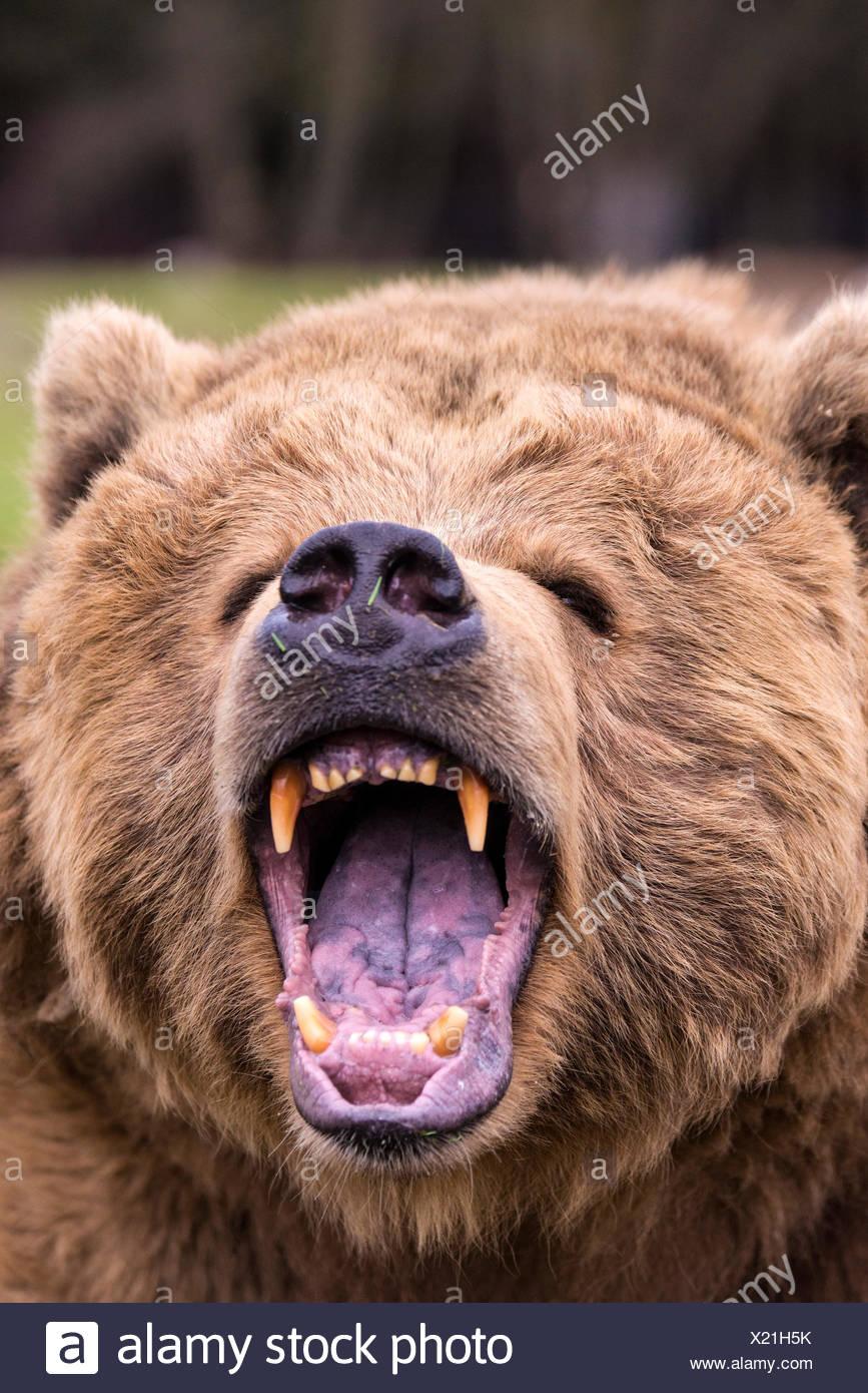 Grizzly Bear, Ursus arctos, el oso, animal, EE.UU., cabeza, dientes, furioso Imagen De Stock
