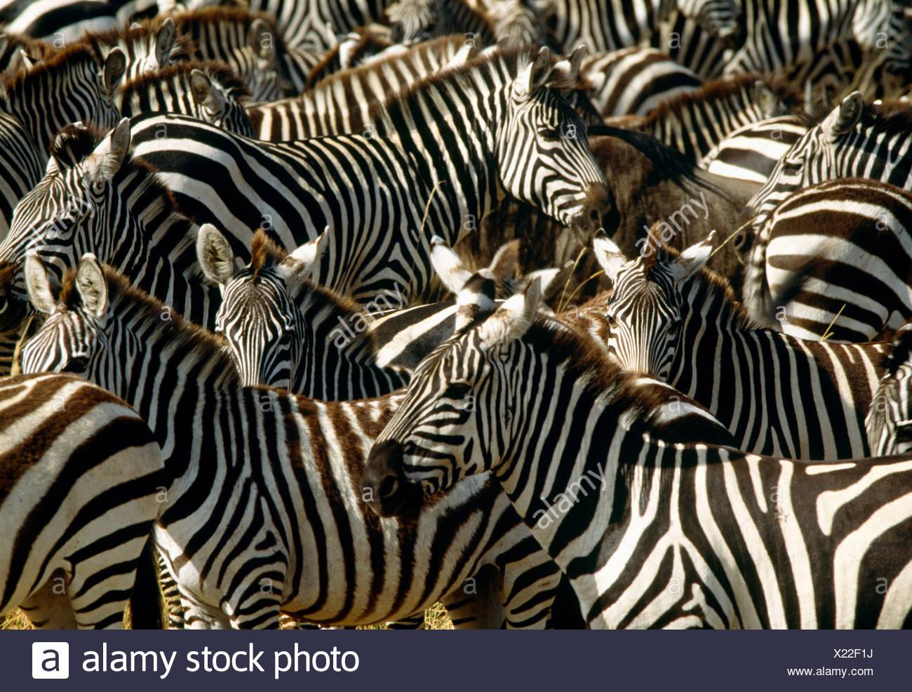 Grant's zebra la migración masiva, la Reserva Nacional de Masai Mara, Kenya Imagen De Stock