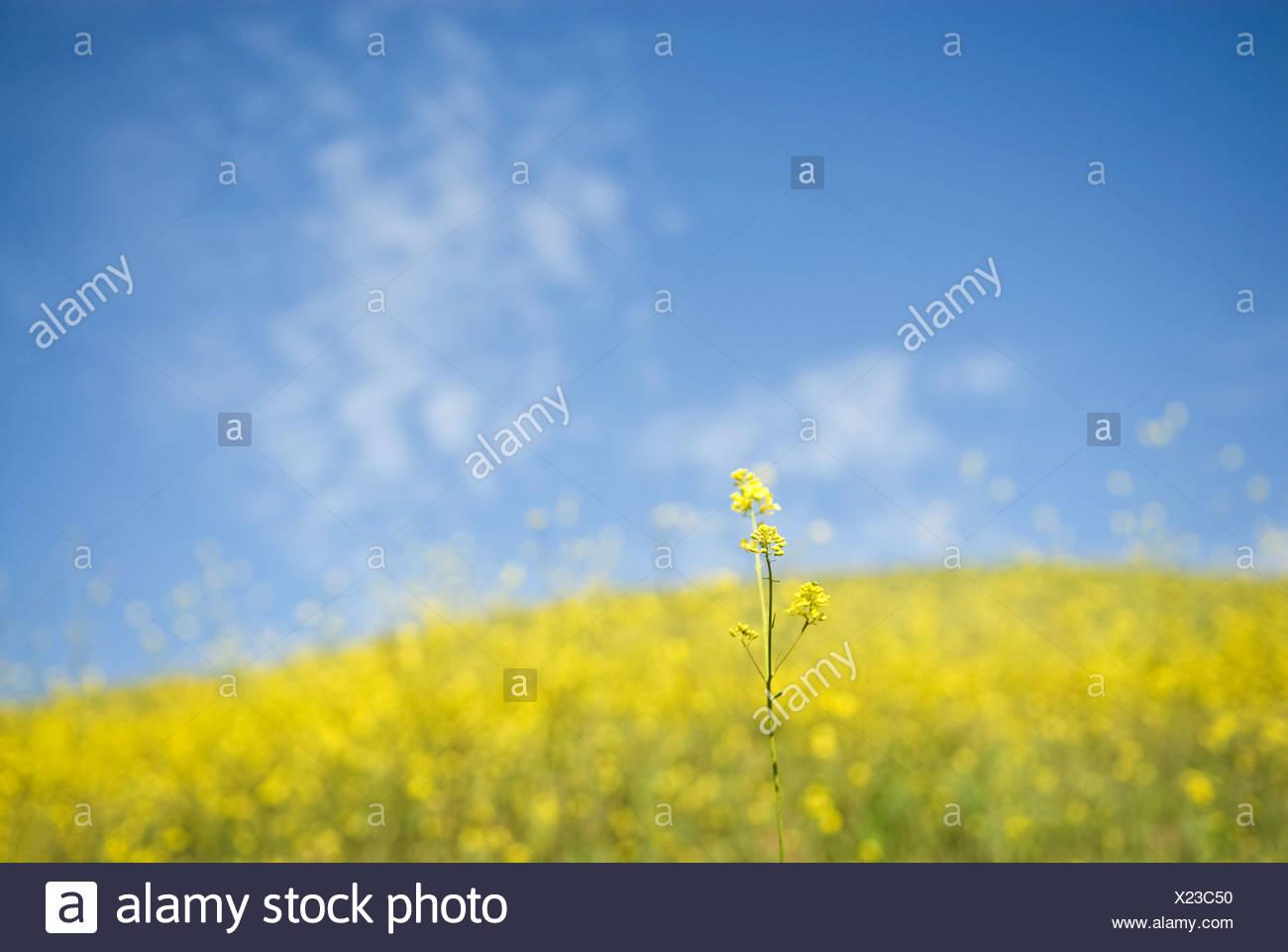 La primavera permite muchos tipos de flores que florecen a lo largo de la costa de California en Ventura, California. Imagen De Stock