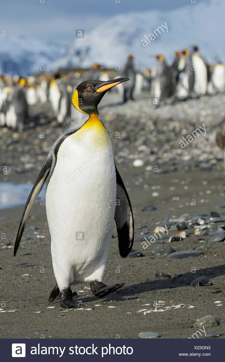 Pingüino Rey (Aptenodytes patagonicus) encaramado en una playa rocosa en Isla Georgia del Sur. Foto de stock