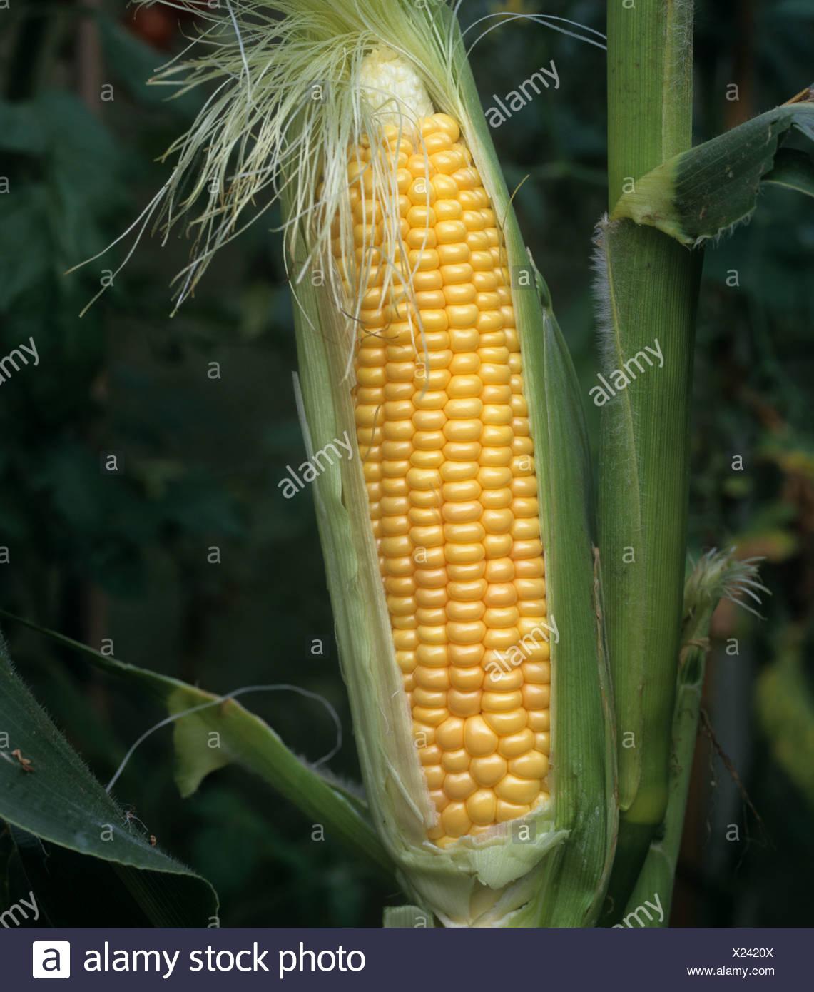 Mazorca de maíz dulce madura expuesta Imagen De Stock
