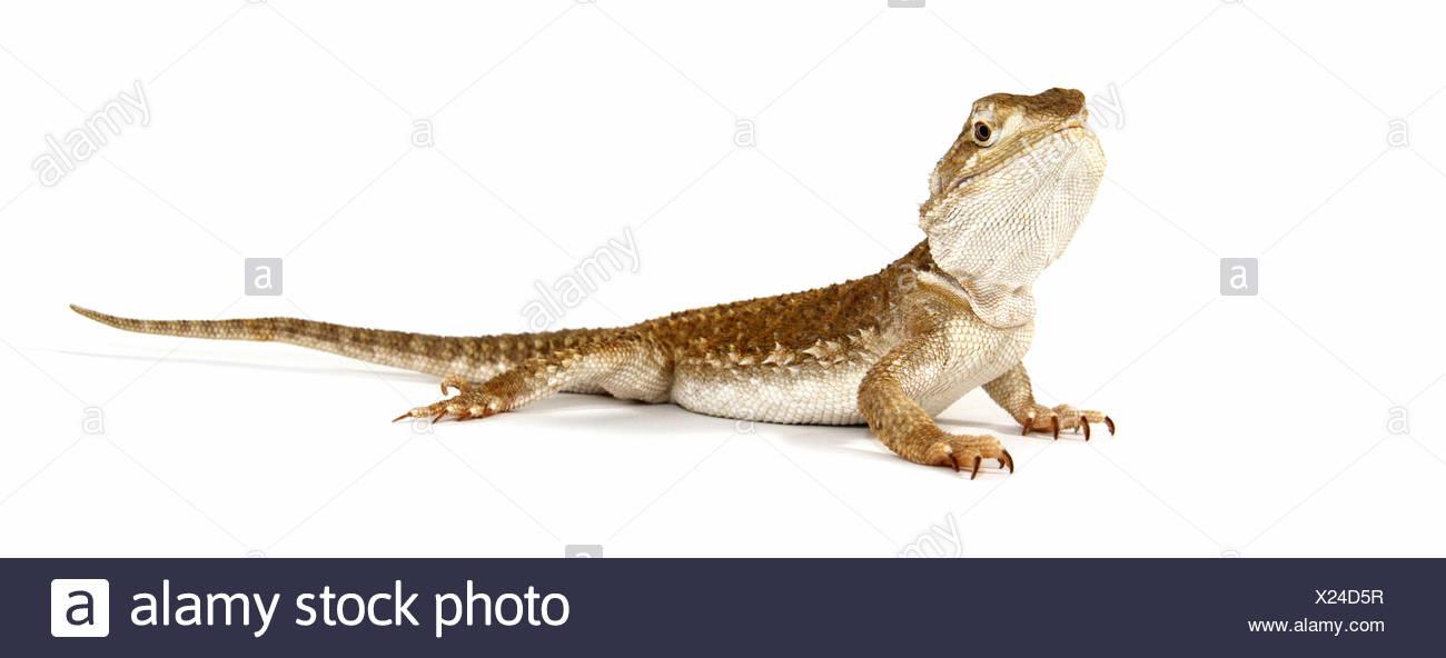 Dwarf Dragon Imágenes De Stock & Dwarf Dragon Fotos De Stock - Alamy