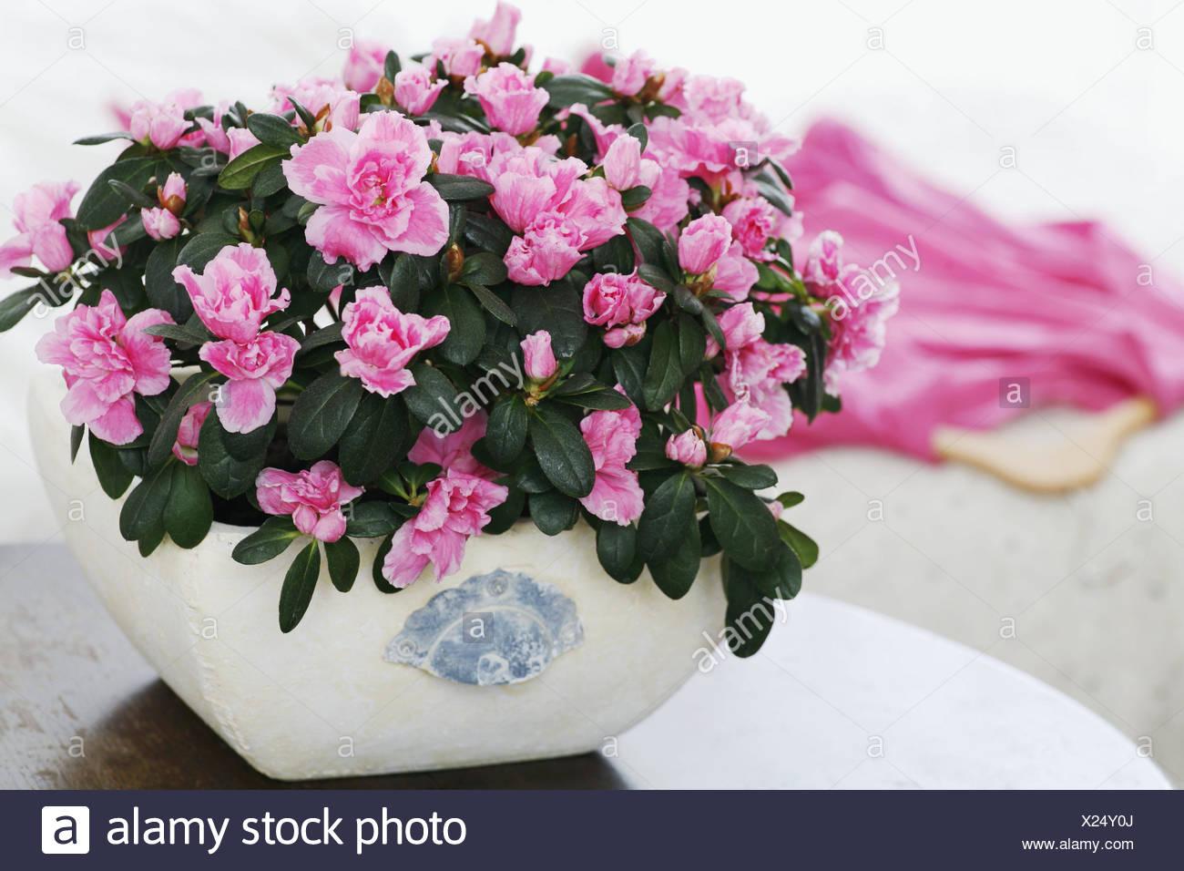 Azalea Flor Como Planta De Interior Mesa Rhododendron Rosa