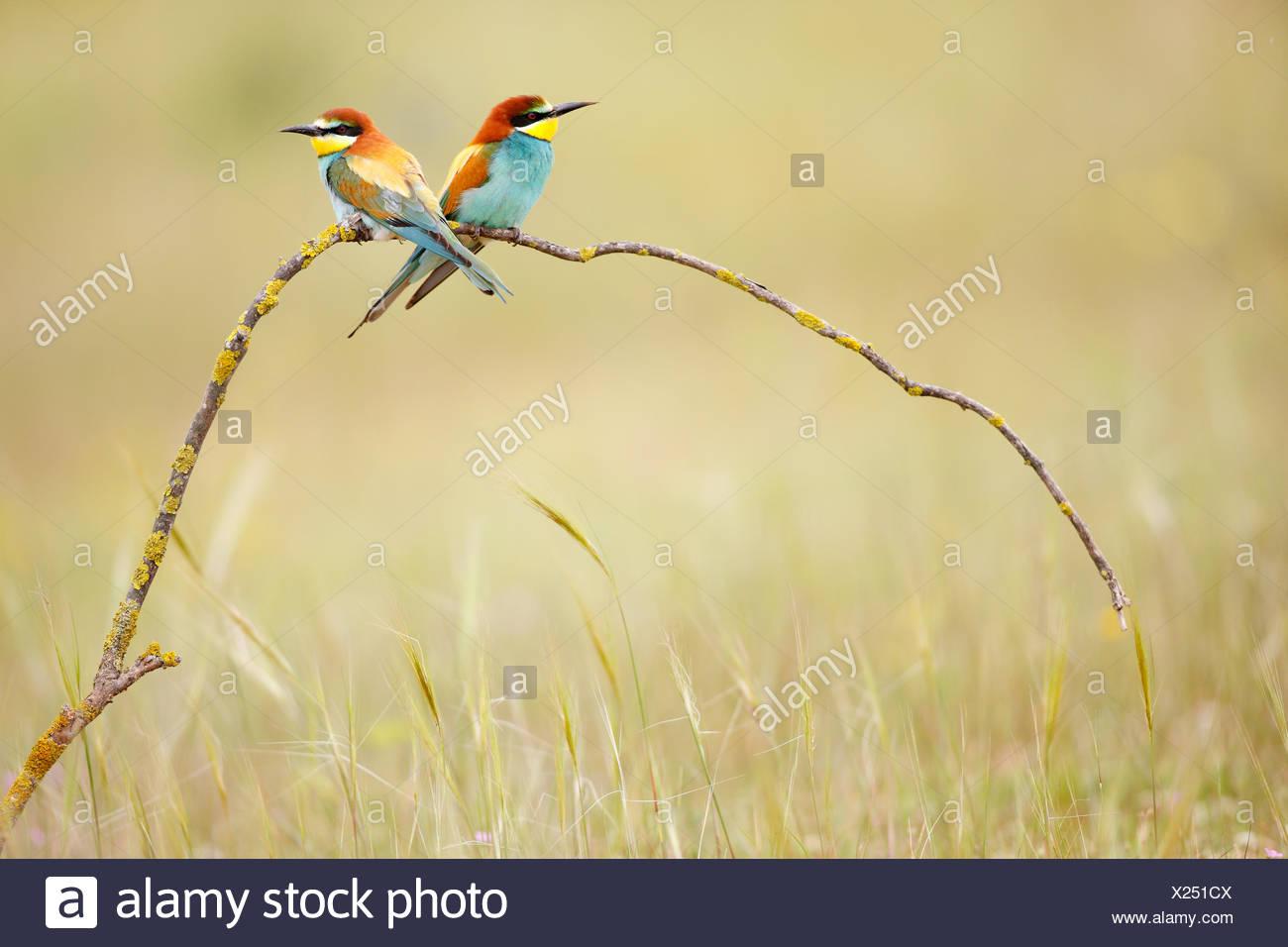 Abeja europea eaters (Merops apiaster) en la rama en la pradera. Sevilla, España Imagen De Stock