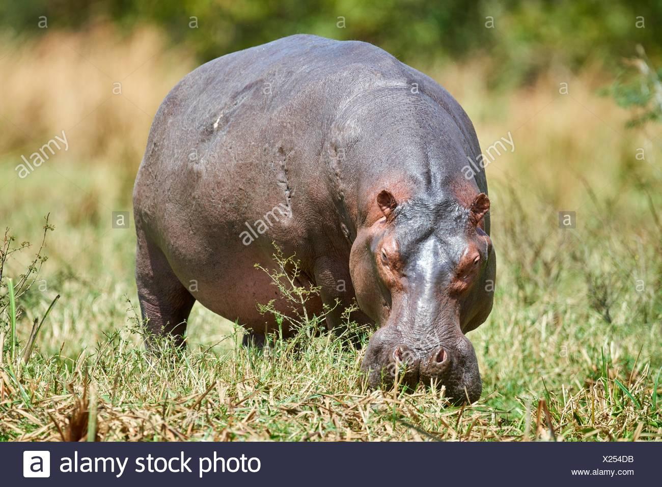 Pastoreo de hipopótamo (Hippopotamus amphibius) Murchisson Falls, Parque Nacional de Uganda. Imagen De Stock