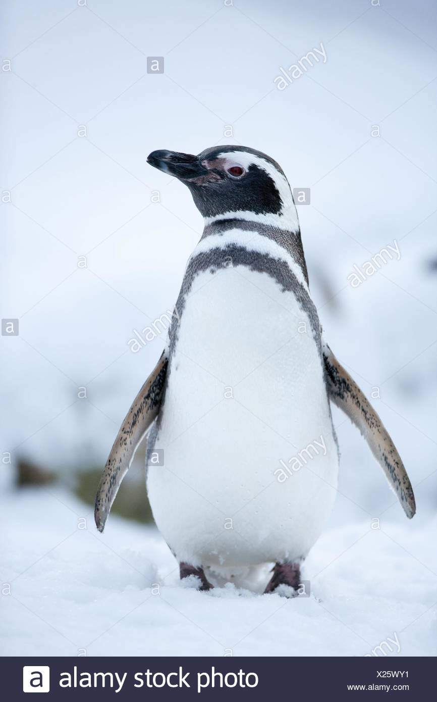 Pingüino de Imagen De Stock