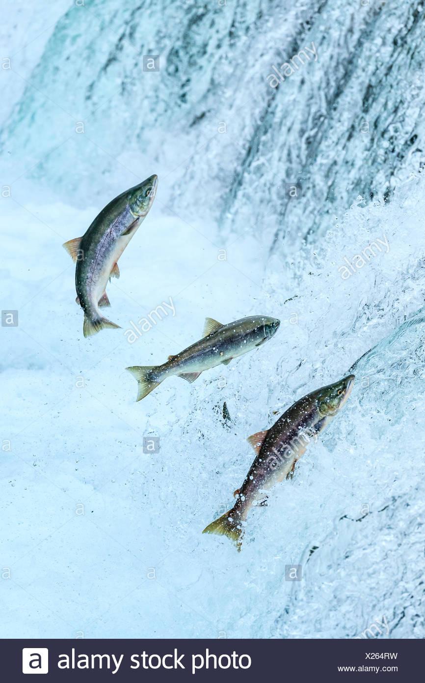 Los osos pardos pesca de salmones sockeye debajo Brooks Falls. Imagen De Stock