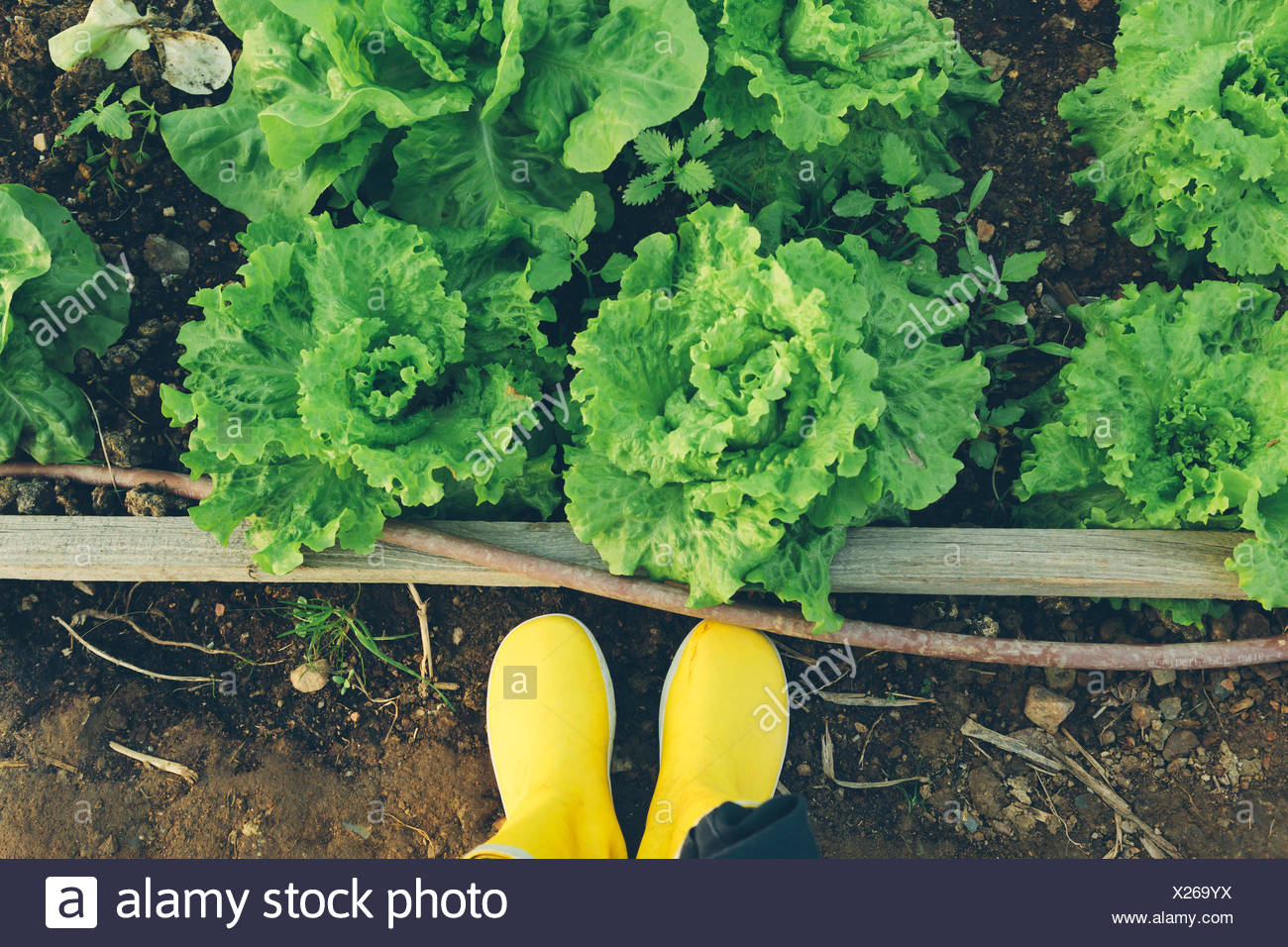 Bajo la sección de persona de pie por las lechugas crecen en campo Imagen De Stock