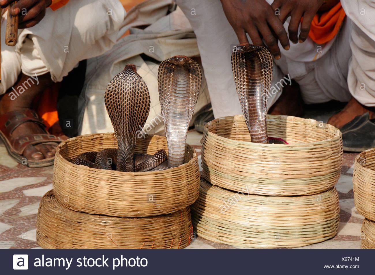 Cobras (Naja naja), indios encantadores de serpientes en el Palacio de los vientos, Jaipur, Rajasthan, India septentrional, Asia Foto de stock