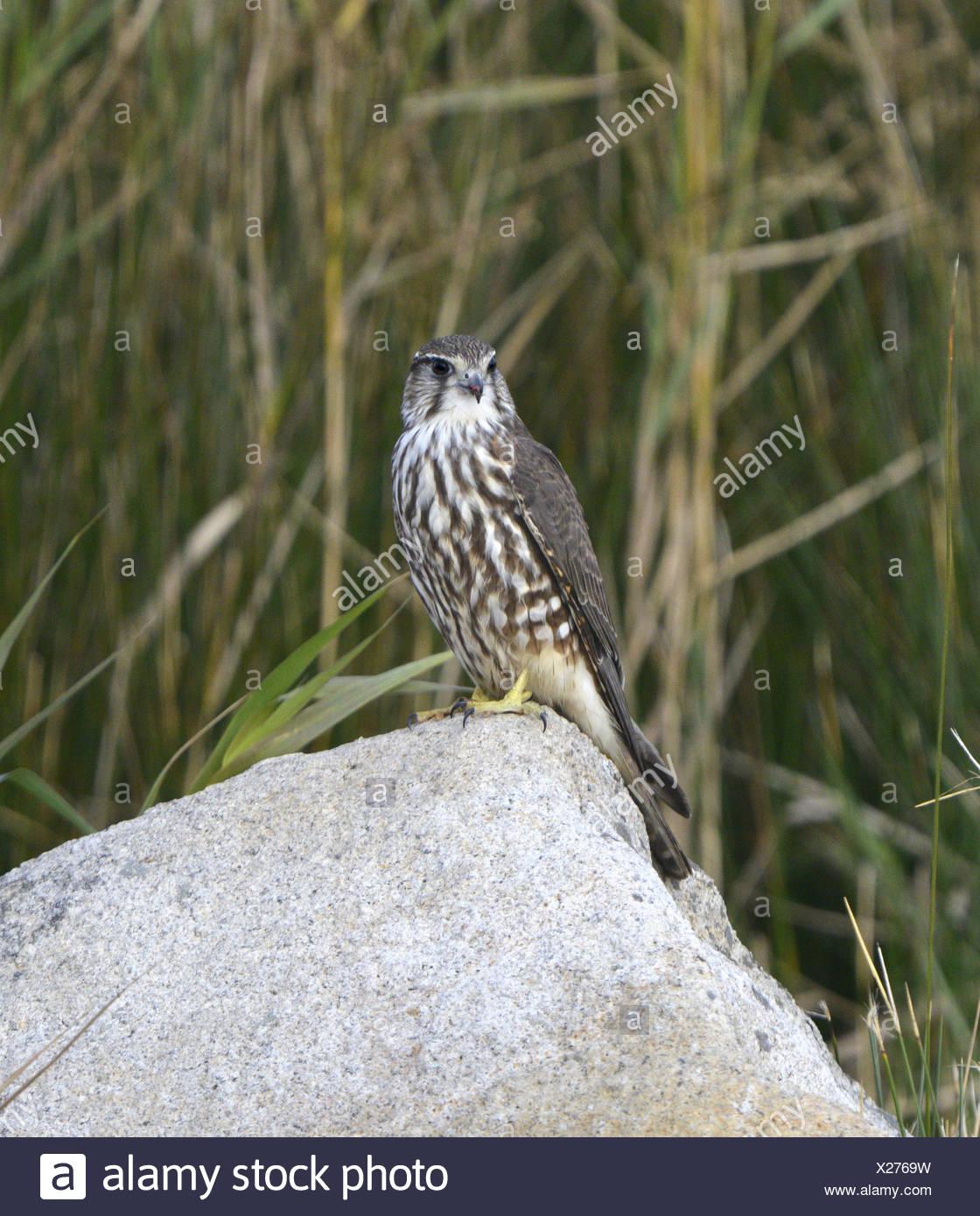 Merlin - Falco columbarius -juvenil. Imagen De Stock