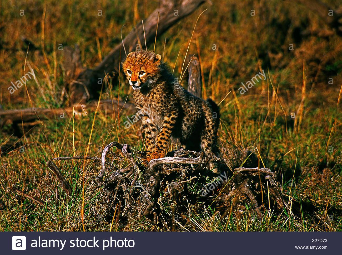 África kenya. MAASAI MARA reserva nacional de fauna y flora.cheetah cub. Imagen De Stock
