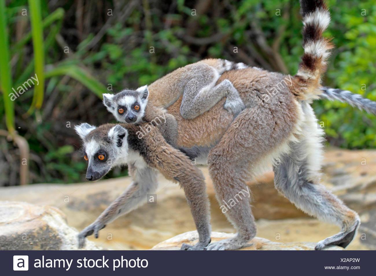 Lémur de cola anillada (Lemur catta), hembra con crías en su espalda, Madagascar, el Parque Nacional de Andringitra Imagen De Stock