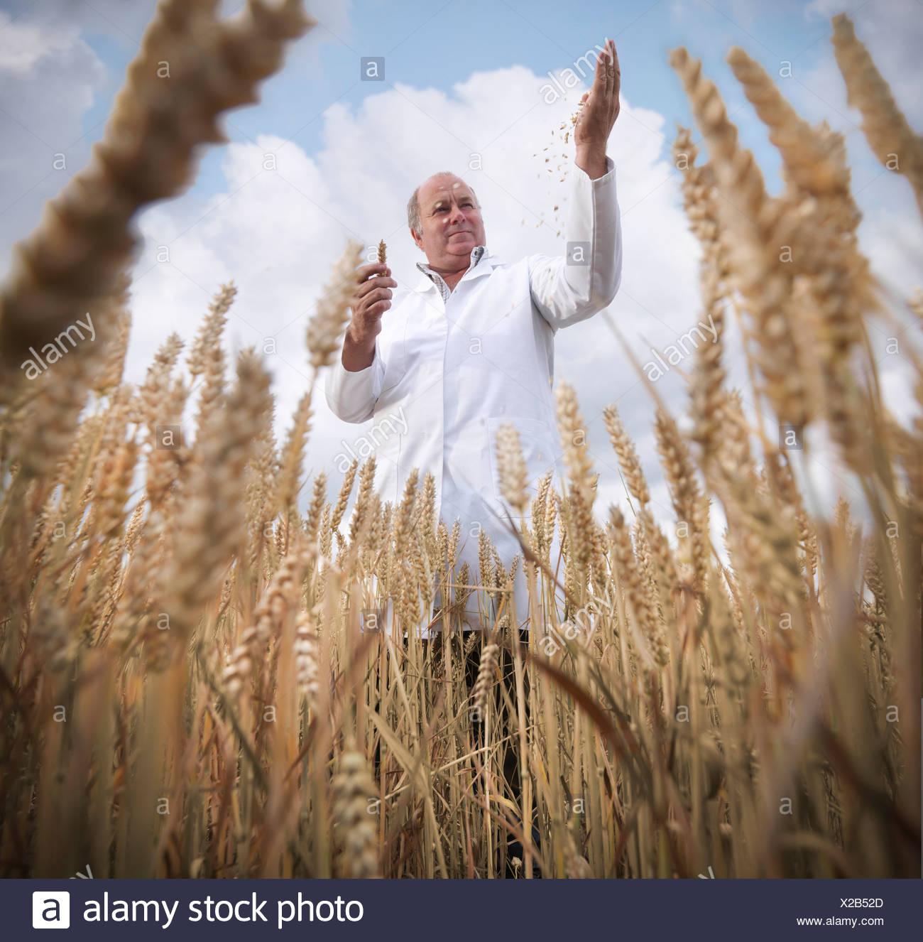 El examen científico de grano de trigo en el campo Imagen De Stock