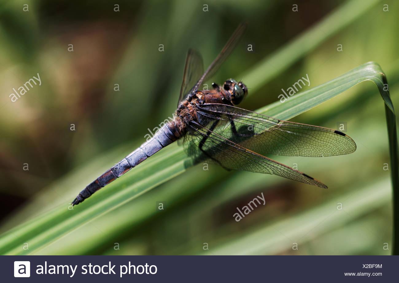 Fauna gran flecha azul insectos Inkwilersee cantón Solothurn Orthetrum cancellatum libélulas naturaleza Suiza Imagen De Stock