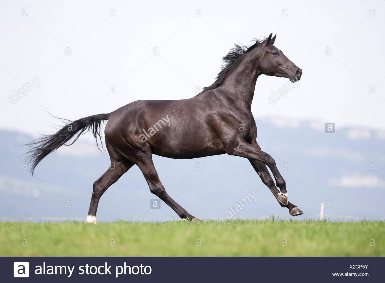 Oldenburg caballo. Mare negro galopando en una pastura. Secuencia. Suiza Foto de stock